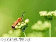 Купить «Красный жучок сидит на белых цветках», фото № 28798382, снято 9 июля 2018 г. (c) Игорь Низов / Фотобанк Лори