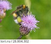 Купить «A bumblebee collects nectar from a flower.», фото № 28804302, снято 16 июля 2018 г. (c) Александр Клопков / Фотобанк Лори