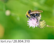 Купить «A bumblebee collects nectar from a flower.», фото № 28804310, снято 18 июля 2018 г. (c) Александр Клопков / Фотобанк Лори