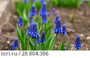 Купить «Blue flowers Muscari», видеоролик № 28804386, снято 14 мая 2018 г. (c) Игорь Жоров / Фотобанк Лори
