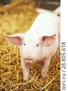 Купить «Young piglet on hay and straw at pig breeding farm», фото № 28805618, снято 23 августа 2012 г. (c) Дмитрий Калиновский / Фотобанк Лори