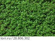 Купить «Фон из мелкой травы», фото № 28806302, снято 16 июля 2018 г. (c) Игорь Кутателадзе / Фотобанк Лори