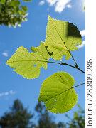 Купить «Листья липы на фоне голубого неба», фото № 28809286, снято 6 июля 2018 г. (c) Григорий Стоякин / Фотобанк Лори