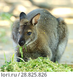 Red-necked wallaby or Bennett's wallaby (Macropus rufogriseus) eating grass. Стоковое фото, фотограф Валерия Попова / Фотобанк Лори