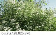 Купить «White Clematis blooms in garden stock footage video», видеоролик № 28825870, снято 21 июля 2018 г. (c) Юлия Машкова / Фотобанк Лори