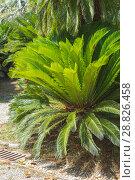 Купить «Cycas revoluta (Sotetsu, sago palm, king sago, sago cycad, Japanese sago palm), is a species of gymnosperm in the family Cycadaceae, native to southern Japan including the Ryukyu Islands», фото № 28826458, снято 8 июля 2018 г. (c) Григорий Стоякин / Фотобанк Лори
