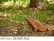 A big beautiful iguana. Стоковое фото, фотограф Наталья Двухимённая / Фотобанк Лори