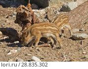 Купить «European wild boar piglet with stripes, characteristic feature of piglets. Funny piglets», фото № 28835302, снято 16 июля 2018 г. (c) Валерия Попова / Фотобанк Лори