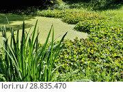Купить «Заросший пруд», фото № 28835470, снято 18 августа 2017 г. (c) Илюхина Наталья / Фотобанк Лори