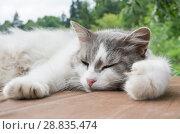 Купить «Серо-белая кошка спит на деревянном полу», фото № 28835474, снято 22 июля 2018 г. (c) Екатерина Овсянникова / Фотобанк Лори
