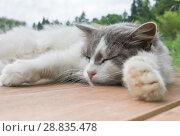 Купить «Серо-белая кошка спит на деревянном полу на фоне леса. Лето», фото № 28835478, снято 22 июля 2018 г. (c) Екатерина Овсянникова / Фотобанк Лори