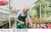 Купить «Successful skilled senior florist taking care of flowers in greenhouse, watering plants in sunny day», видеоролик № 28835654, снято 27 июня 2018 г. (c) Яков Филимонов / Фотобанк Лори