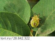 Купить «Зеленый овощной клоп Nezara viridula L. (Hemiptera: Pentatomidae) - широкий полифаг повреждающий растения более чем 30 семейств», фото № 28842322, снято 21 июня 2018 г. (c) Наталья Гармашева / Фотобанк Лори