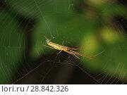 Вид снизу на длинноногого паука-вязальщика (лат. Tetragnatha), висящего на паутине. Стоковое фото, фотограф Наталья Гармашева / Фотобанк Лори