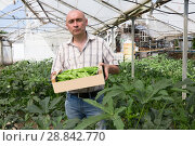 Купить «Man horticulturist holding crate with green okra in hothouse», фото № 28842770, снято 16 августа 2018 г. (c) Яков Филимонов / Фотобанк Лори