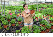 Купить «Woman gardener working with spearmint in pot in sunny hothouse», фото № 28842810, снято 15 августа 2018 г. (c) Яков Филимонов / Фотобанк Лори