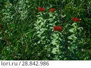 Купить «Flowering plant golden root (Rhodiola rosea) in a natural environment», фото № 28842986, снято 23 июля 2018 г. (c) Евгений Харитонов / Фотобанк Лори