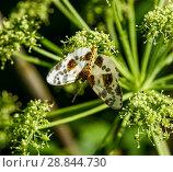 Купить «Пятнистая бабочка среди травы», эксклюзивное фото № 28844730, снято 25 июня 2018 г. (c) Игорь Низов / Фотобанк Лори