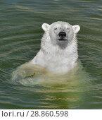 Купить «Portrait of young polar bear in water. Finnish Lapland. Summer», фото № 28860598, снято 16 июля 2018 г. (c) Валерия Попова / Фотобанк Лори