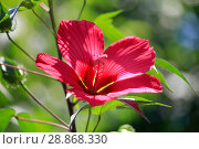 Купить «Beautiful red hibiscus flower closeup blossomed in the garden», фото № 28868330, снято 9 июля 2018 г. (c) Яна Королёва / Фотобанк Лори