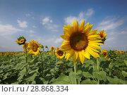 Купить «Пчела на подсолнухе в поле подсолнухов солнечным летним днем», фото № 28868334, снято 29 июня 2018 г. (c) Яна Королёва / Фотобанк Лори