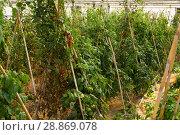 Купить «Seedlings and tomatoes growing on branch in hothouse», фото № 28869078, снято 15 августа 2018 г. (c) Яков Филимонов / Фотобанк Лори