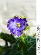Купить «Beautiful flower Saintpaulia (Узамбарская Фиалка)», фото № 28870594, снято 21 февраля 2020 г. (c) ElenArt / Фотобанк Лори
