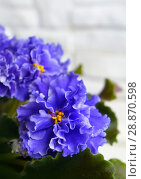 Купить «Beautiful flower Saintpaulia (Узамбарская Фиалка)», фото № 28870598, снято 21 февраля 2020 г. (c) ElenArt / Фотобанк Лори