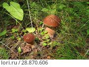 Купить «Белые грибы растут среди травы в лесу», эксклюзивное фото № 28870606, снято 28 июля 2018 г. (c) Щеголева Ольга / Фотобанк Лори