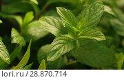 Купить «Mint herb at the wind», видеоролик № 28870714, снято 19 июня 2018 г. (c) Илья Шаматура / Фотобанк Лори