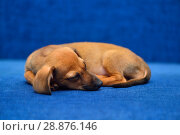 Купить «Щенок таксы спит на синем фоне», фото № 28876146, снято 18 января 2015 г. (c) Арестов Андрей Павлович / Фотобанк Лори