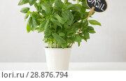 Купить «green basil herb with name plate in pot on table», видеоролик № 28876794, снято 17 июля 2018 г. (c) Syda Productions / Фотобанк Лори
