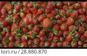 Купить «Red ripe juicy strawberry slow falls one by one on a tray with berries made of steel with holes. Berries background. Slow motion video. Top view. Full HD video, 240fps,1080p», видеоролик № 28880870, снято 29 июня 2018 г. (c) Ярослав Данильченко / Фотобанк Лори