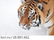 Close up portrait of Siberian tiger in winter snow. Стоковое фото, фотограф Anton Eine / Фотобанк Лори
