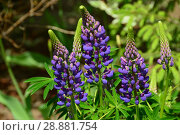 Купить «Люпин, или волчий боб (фиолетовый)», эксклюзивное фото № 28881754, снято 26 мая 2016 г. (c) lana1501 / Фотобанк Лори