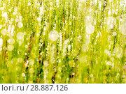 Купить «Green grass with dew drops. Solar glare. macro», фото № 28887126, снято 14 августа 2016 г. (c) Евгений Ткачёв / Фотобанк Лори