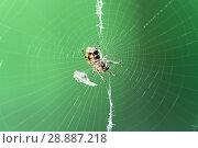 Купить «Garden cross spider (Araneus diadematus) on web», фото № 28887218, снято 14 августа 2016 г. (c) Евгений Ткачёв / Фотобанк Лори