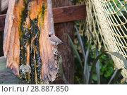 Купить «Озерная лягушка (Pelophylax ridibundus, Rana ridibunda) в сточном деревянном желобе и амадин», фото № 28887850, снято 13 июля 2018 г. (c) Ирина Носова / Фотобанк Лори
