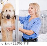 Купить «professional combing puppy in hairdresser», фото № 28905918, снято 17 октября 2017 г. (c) Татьяна Яцевич / Фотобанк Лори