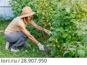 Купить «Обрезка малины после сбора урожая. Молодая женщина в шляпе работает в саду.», фото № 28907950, снято 5 августа 2018 г. (c) Светлана Голинкевич / Фотобанк Лори