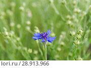 Купить «Василёк синий, или Василёк посевной (Centaurea cyanus) на поле льна (Linum usitatissimum)», фото № 28913966, снято 7 июля 2018 г. (c) Алёшина Оксана / Фотобанк Лори