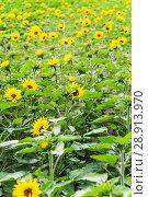 Купить «Подсолнечник однолетний (Helianthus annuus)», фото № 28913970, снято 7 июля 2018 г. (c) Алёшина Оксана / Фотобанк Лори