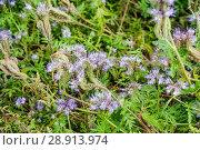 Купить «Фацелия пижмолистная, или рябинколистная, фиолетовая пижма (Phacelia tanacetifolia)», фото № 28913974, снято 7 июля 2018 г. (c) Алёшина Оксана / Фотобанк Лори