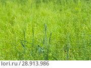 Купить «Колосья полбы (Triticum spelta) на поле льна обыкновенного (Linum usitatissimum). Фон», фото № 28913986, снято 7 июля 2018 г. (c) Алёшина Оксана / Фотобанк Лори