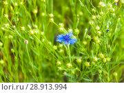 Купить «Василёк синий, или Василёк посевной (Centaurea cyanus) на поле льна (Linum usitatissimum)», фото № 28913994, снято 7 июля 2018 г. (c) Алёшина Оксана / Фотобанк Лори