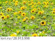 Купить «Подсолнечник (Helianthus)», фото № 28913998, снято 7 июля 2018 г. (c) Алёшина Оксана / Фотобанк Лори