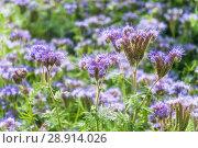 Купить «Фацелия пижмолистная, или рябинколистная, фиолетовая пижма (Phacelia tanacetifolia)», фото № 28914026, снято 7 июля 2018 г. (c) Алёшина Оксана / Фотобанк Лори