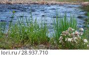 Купить «Река Коярд (приток реки Ус) у парка Ергаки в Саянах / Melandrium album and Myosotis on the bank of river Koyard», видеоролик № 28937710, снято 11 июля 2018 г. (c) Serg Zastavkin / Фотобанк Лори