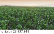 Купить «Aerial view field of corn», видеоролик № 28937918, снято 18 июля 2018 г. (c) Илья Шаматура / Фотобанк Лори