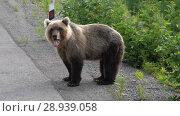 Купить «Бурый медведь стоит на обочине дороги», видеоролик № 28939058, снято 4 августа 2018 г. (c) А. А. Пирагис / Фотобанк Лори
